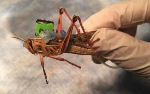 O inseto que pode substituir cães farejadores na detecção de explosivos.